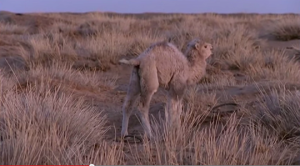 El camello que llora