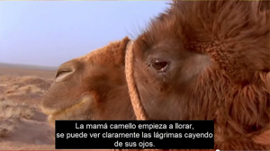 Mother camel weeps